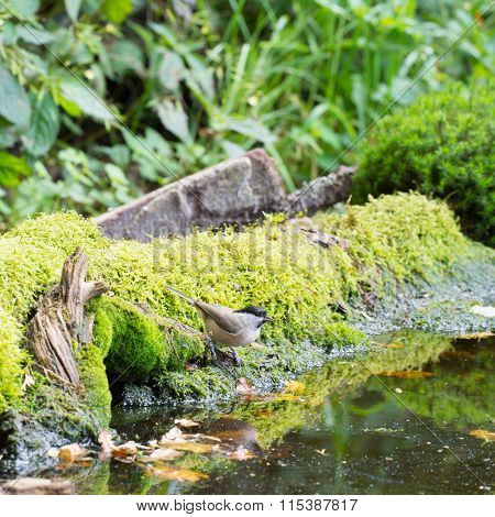 willow tit in forest drinking water