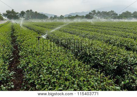 Tea plantation at TaiWan