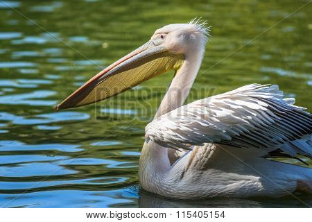pelican swimming on the lake.