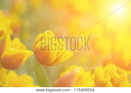 Tulips in yellow color in green garden.