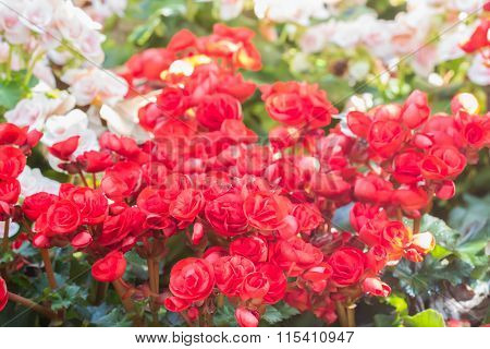 Selective Focus Of Colorful Begonia Flowers With Sun Light ,selective Focus