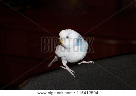 white and blue budgerigar