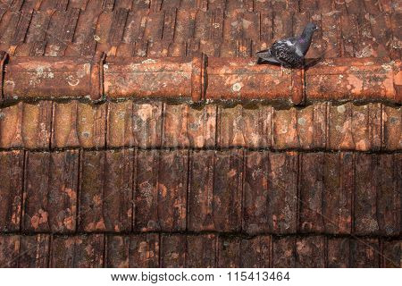 Pigeon walking on dirty roof