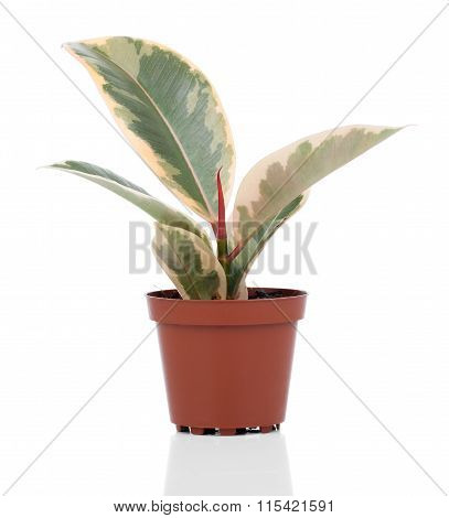 Ficus Elastica Plant, On A White Background.