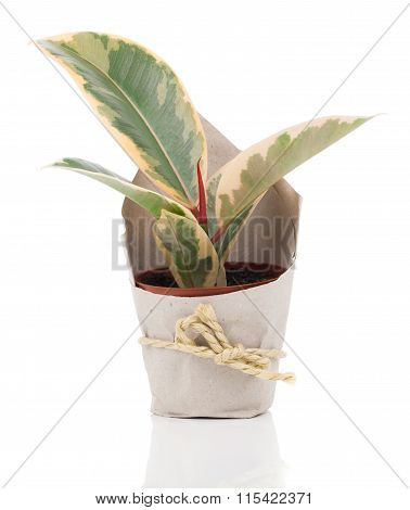 Ficus Elastica Plant In Paper Packaging, On A White Background.