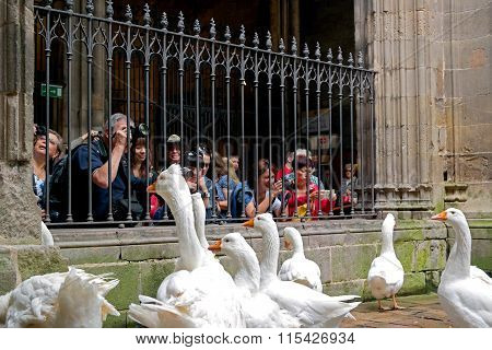 Barcelona, Spain - May 17, 2014: Geese In Cathedral Of Saint Eulalia.