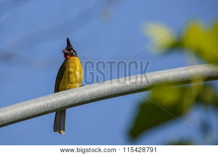Black-crested Bulbul
