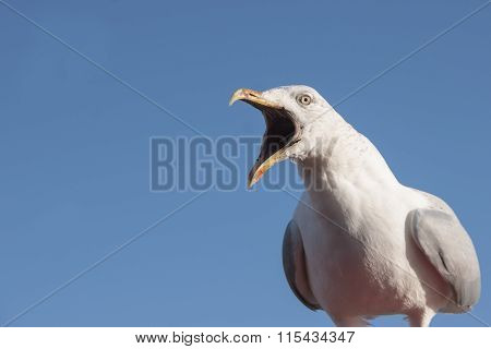 Seagull, looking left