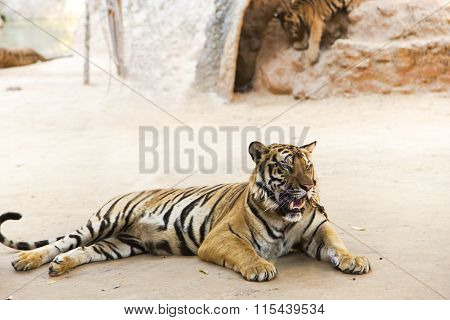 Bengali tigers in Tiger Temple