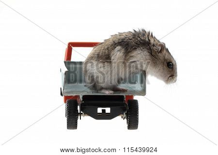 Young Dzungarian Hamster In The Toy Car