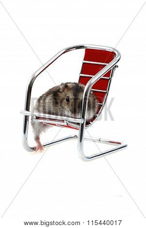 Young Dzungarian Hamster In The Chair