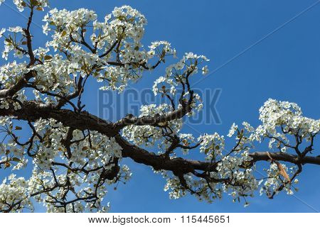 Pear flower with blue sky background.