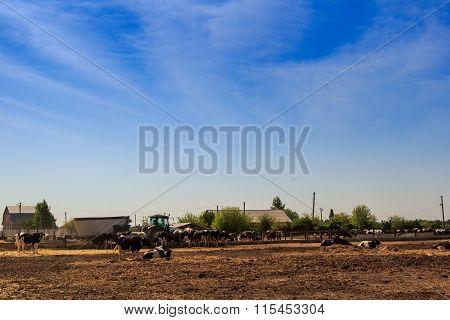 Cows Eat Hay Behind Barrier In Outdoors Enclosure