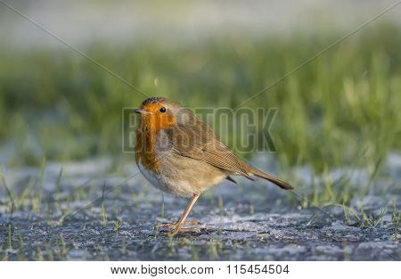 Robin redbreast Erithacus rubecula perched on the ice