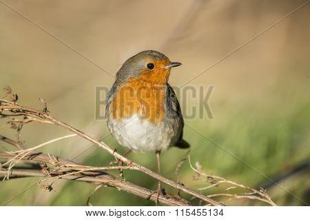 Robin redbreast Erithacus rubecula perched on a twig