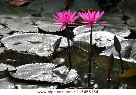 Beautiful Pink Lily Flowers