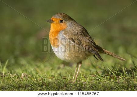 Robin redbreast Erithacus rubecula standing on the grass close up