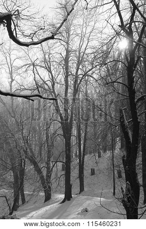 trees in winter in black and white