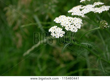 Close-up of yarrow flowers