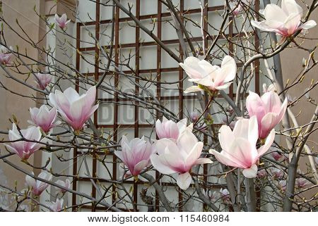 Magnolia Blossom In Spring Time