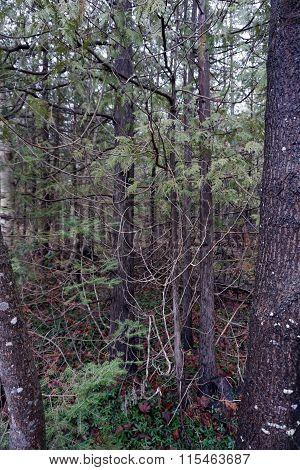 Cedar Saplings