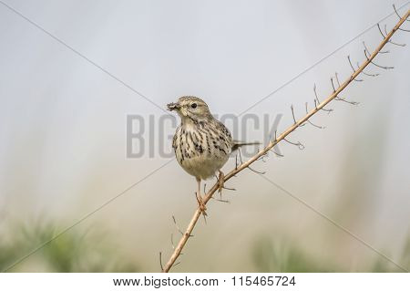 Meadow pipit sitting on a branch with bugs in its beak