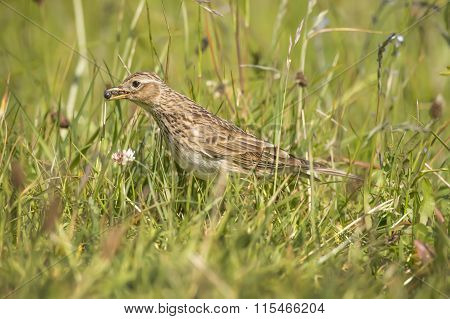 Meadow pipit in the grass with bugs in its beak