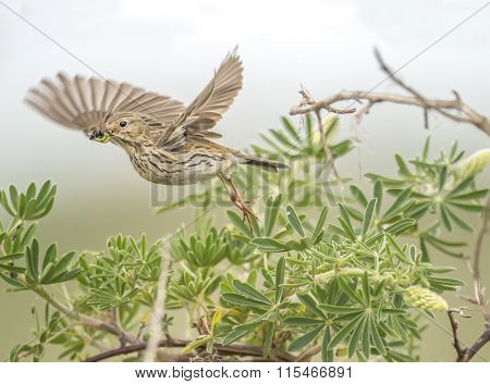 Meadow pipit flying from a tree with bugs in its beak