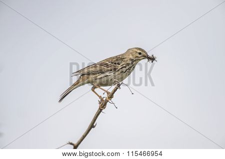 Meadow pipit perched on a twig with bugs in its beak