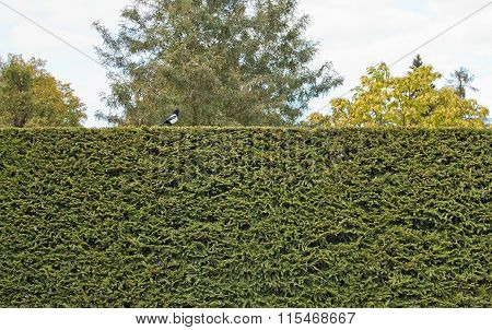 Magpie On Spruce Hedge