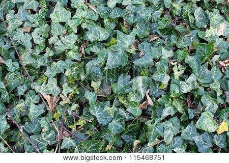 Common Ivy Full Frame