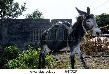 Donkey Saddled With Water Tube