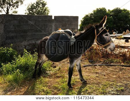 Donkey Used For Transporting