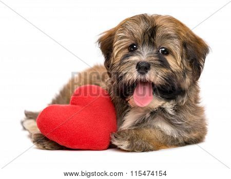 Cute Happy Valentine Havanese Puppy Dog With A Red Heart