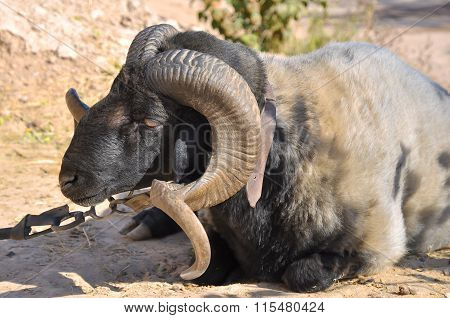 Large ram with twisted into a spiral horns