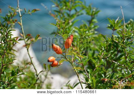 Brier with berries on the sea shore of the bay