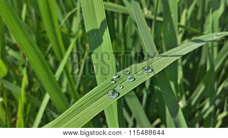 Dew on Green Leaves