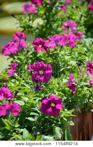 purple petunia flower in nature garden