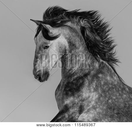 Dapple-grey Spanish horse - portrait in motion