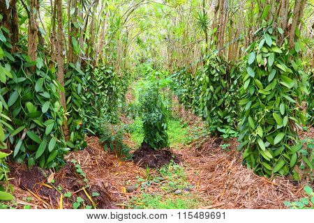 The Vanilla flower plantation. Reunion Island, agriculture in tropical climate.