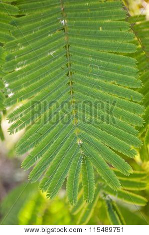 green climbing wattle leaves