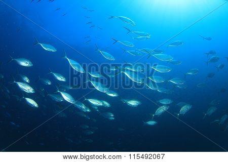 Mackerel fish underwater