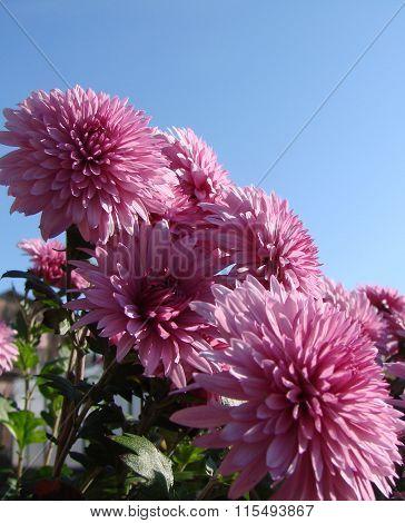 Pink Chrysanthemum, Garden, Omsk Region, Siberia, Russia