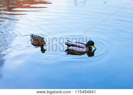 Wild Duck And Drake Swim In The City Pond