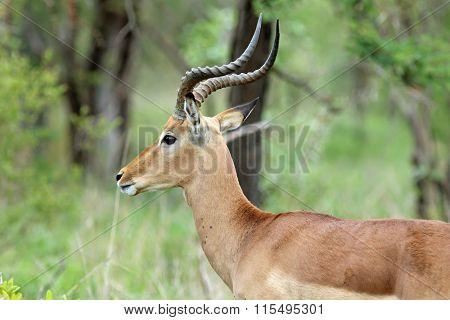 Male antelope