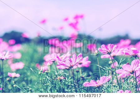 Cosmos Flower On A Green Meadow.