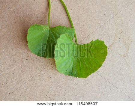 green centella asiatica leaves on wood floor