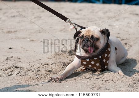 Close-up Cute Dog Pug Wink Eye Fear And Afraid Water Sea Beach When People Try To Pull Pug To Play S
