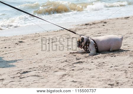 Close-up Cute Dog Pug Fear And Afraid Water Sea Beach When People Try To Pull Pug To Play Swim On Sa