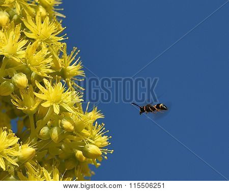 European honey bee (Apis mellifera) gathering pollen, Honey Bee harvesting pollen.Malta flora